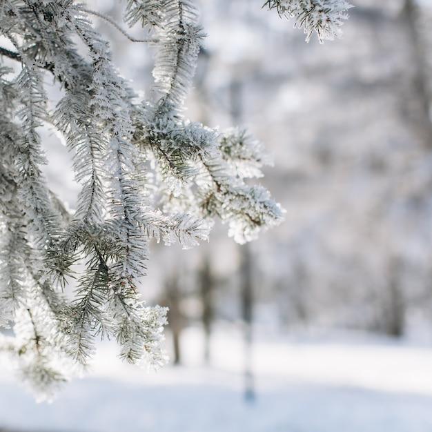 A coniferous frozen wood in winter. Premium Photo