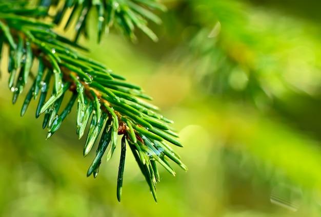 Coniferous twig with raindrops. Premium Photo