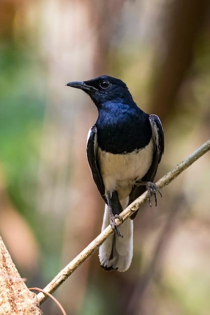 自然の枝に鳥のイメージ。オリエンタルカササギロビン(copsychus saularis) Premium写真
