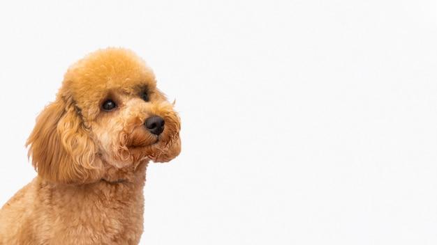 Копировальная домашняя собака Бесплатные Фотографии