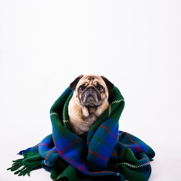 Copy-space lovely dog covered with blue blanket Free Photo