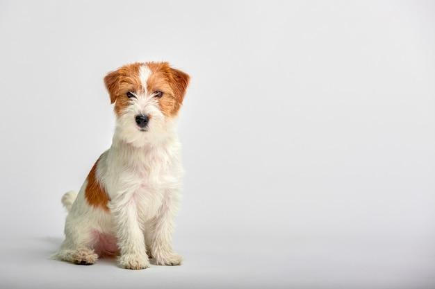 ジャックラッセルテリアの子犬を白、copyspaceのクローズアップ。スタジオ撮影 Premium写真