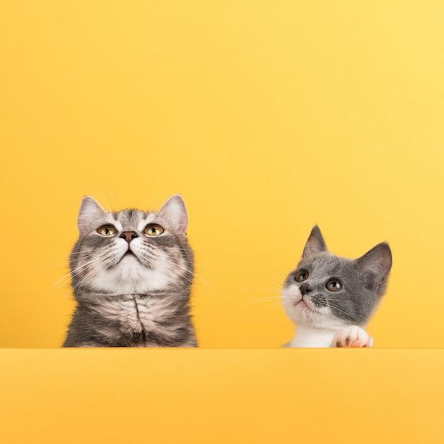 Милый маленький серый кот и котенок, на желтом, смотрит и играет. бизнес, copyspace. Premium Фотографии