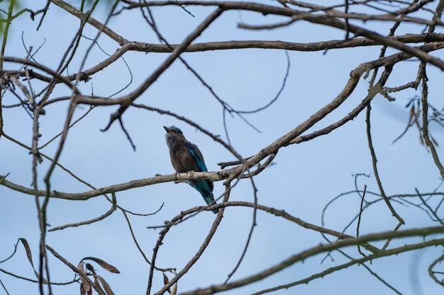 Coracias benghalensis, birds are sticking to dry branches. Premium Photo