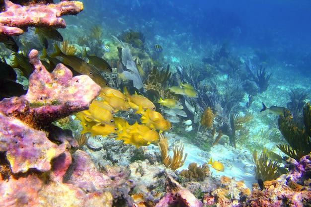 Coral caribbean reef mayan riviera grunt fish Premium Photo