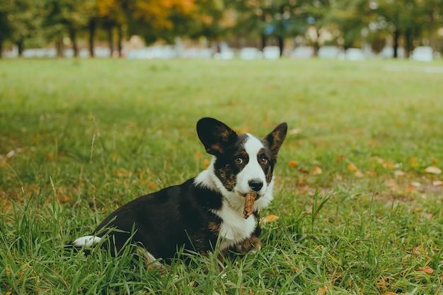 Собака корги сидит на траве Premium Фотографии