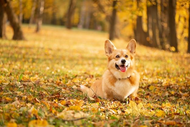 Корги в осеннем парке на опавших золотых листьях Premium Фотографии