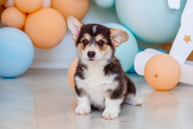 Corgi puppy welsh pembroke sitting on a background of balloons Premium Photo