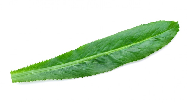 Coriander leaves or eryngium foetidum isolated on white. Premium Photo
