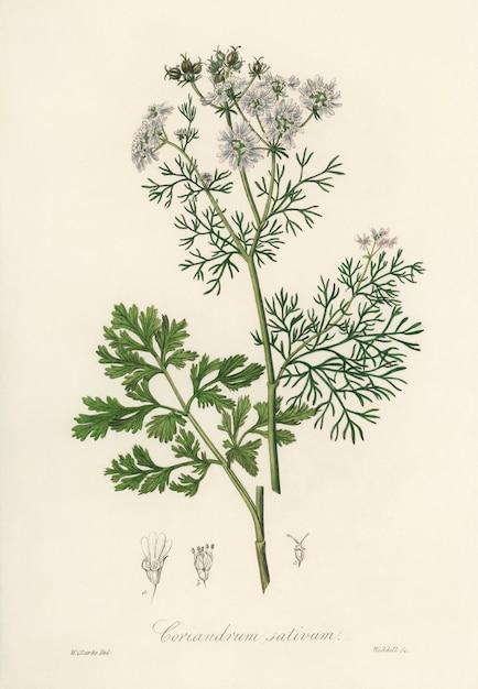 コリアンダー(coriandrum sativum)イラストレーション:medical botany(1836) 無料写真