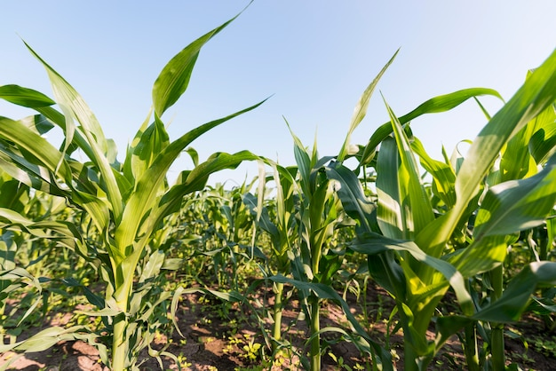 Corn field agriculture concept Free Photo