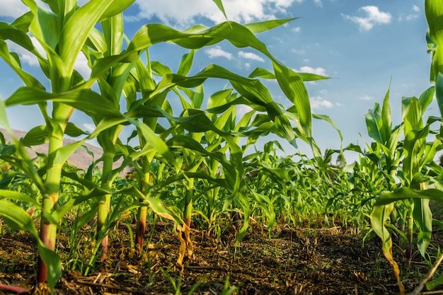 Corn field and blue sky background Premium Photo