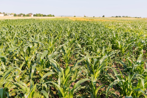Corn field farming concept high view Premium Photo