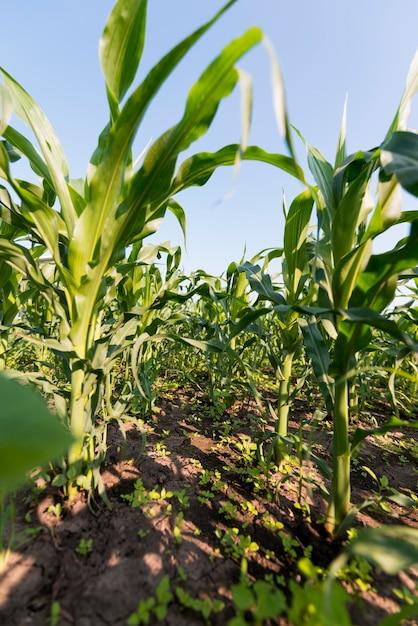 Concetto di agricoltura campo di mais Foto Gratuite