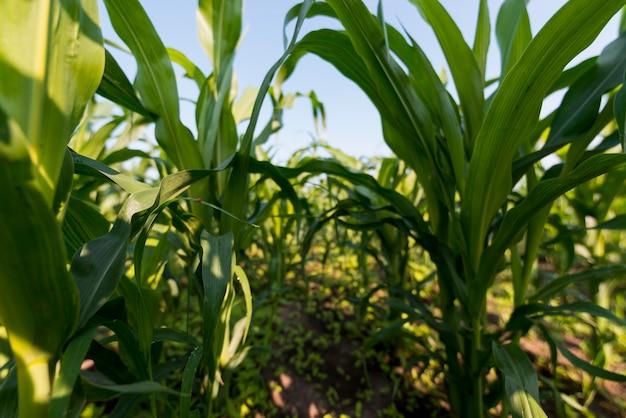 Corn field organic farming concept Free Photo