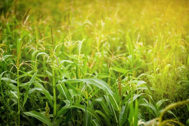 Corn field in sunlight Premium Photo