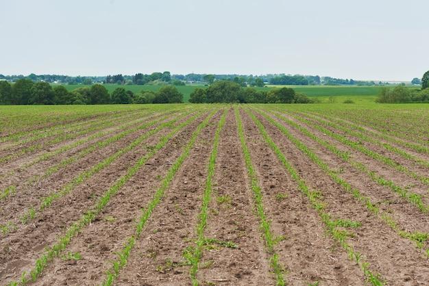 トウモロコシ畑:太陽の下で育つ若いトウモロコシ。 無料写真