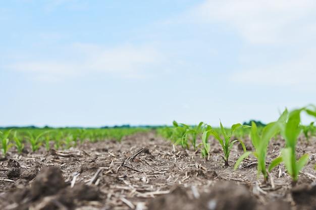Corn field: young corn plants growing in the sun. Free Photo