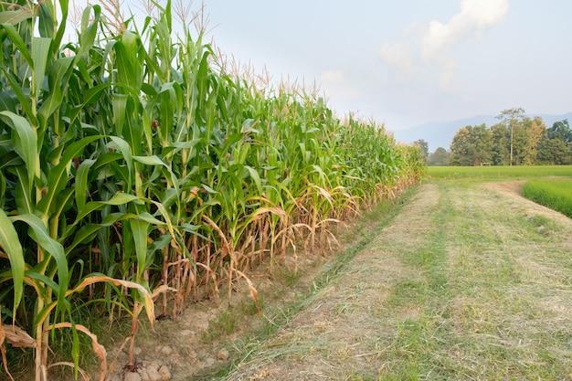 Corn is not fully grown in farm Premium Photo