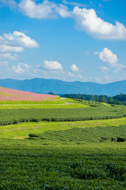 Cosmos fields and green tea field with blue sky Premium Photo