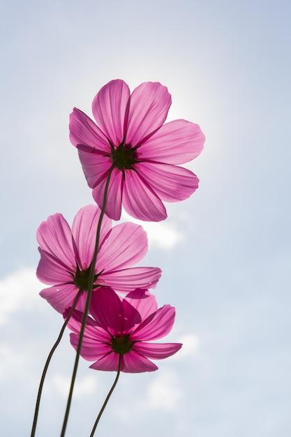 使用背景のコスモスの花(コスモスbipinnatus) Premium写真