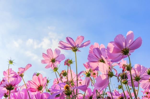 The cosmos flower Premium Photo