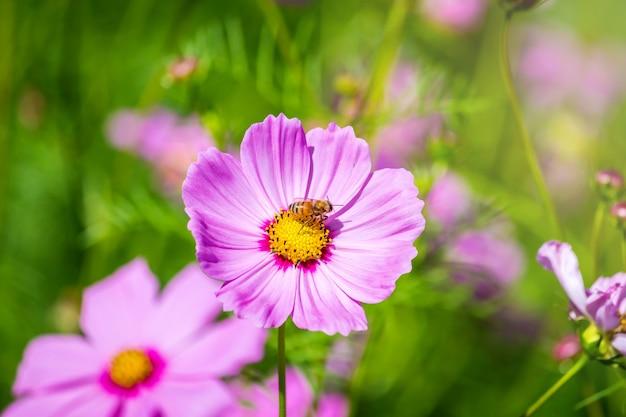 Cosmos flower Premium Photo