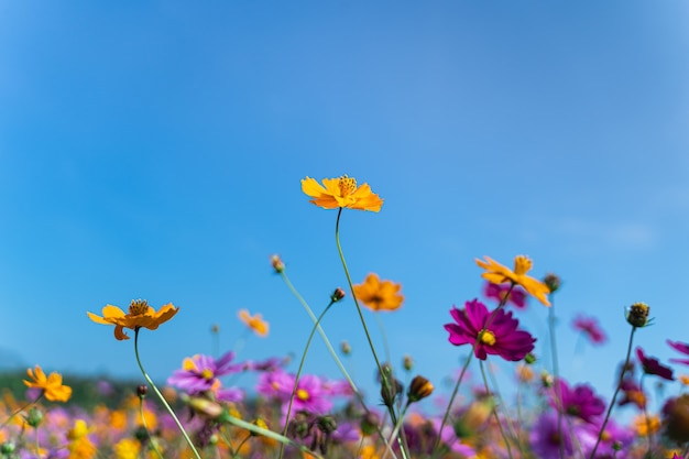 Cosmos flowers of grassland in the morning Premium Photo