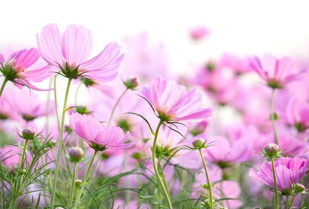 코스모스 꽃 흰색 배경에 고립 무료 사진