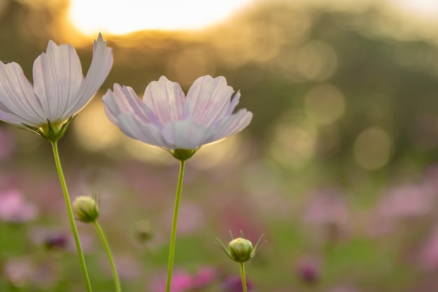 Cosmos flowers on twilight background with sun flare. Premium Photo