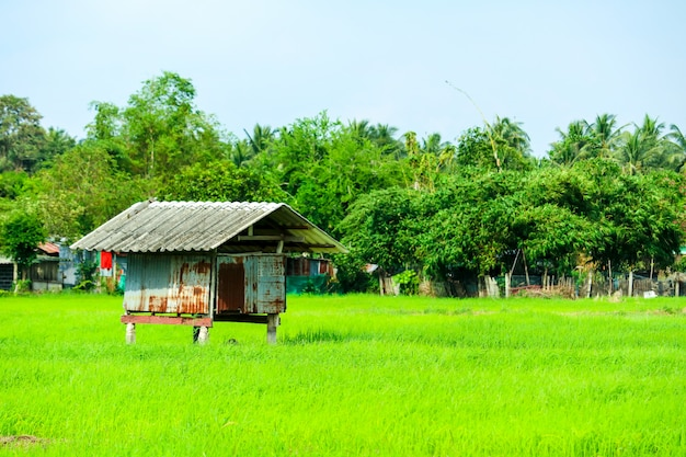 The cottage is surrounded by green rice fields and tree Premium Photo