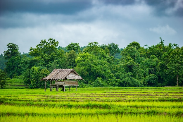 Cottage in the rice fields. grey overcast sky in the rainy season. concept of agriculture. Premium Photo
