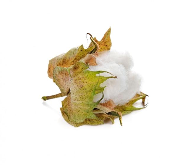 白い背景で隔離の綿植物の花 Premium写真
