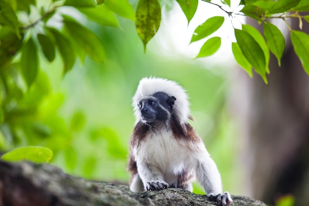 A cotton-top tamarin monkey Premium Photo