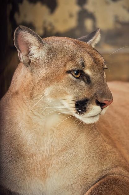 Cougar Premium Photo