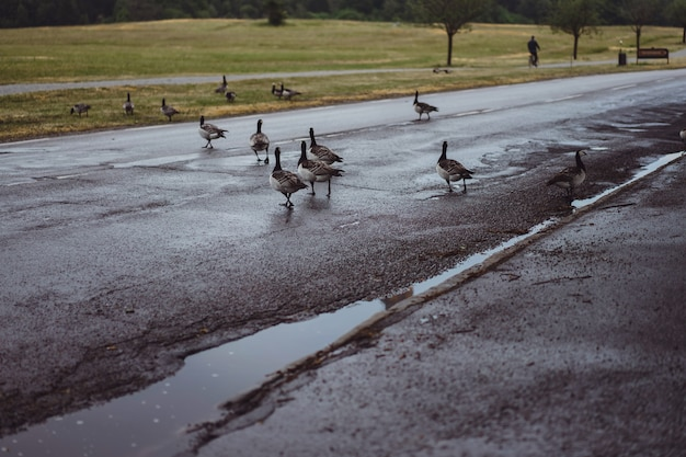 Country landscape, geese cross the road Free Photo