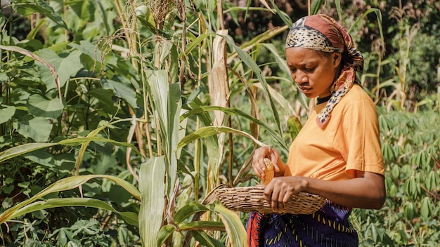 Countryside worker picking up corn Free Photo