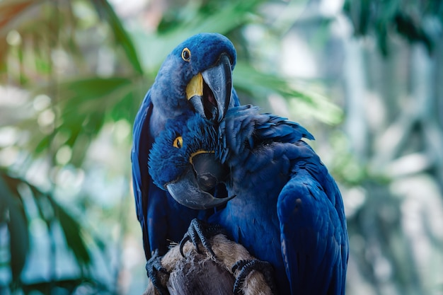 Couple of blue hyacinth macaw parrot in park Premium Photo