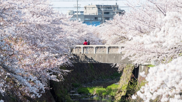 Couple on bridge with cherry blossom, nagoya Premium Photo