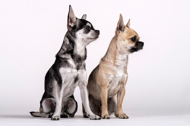 Couple of chihuahuas, male and female looking towards the side Premium Photo