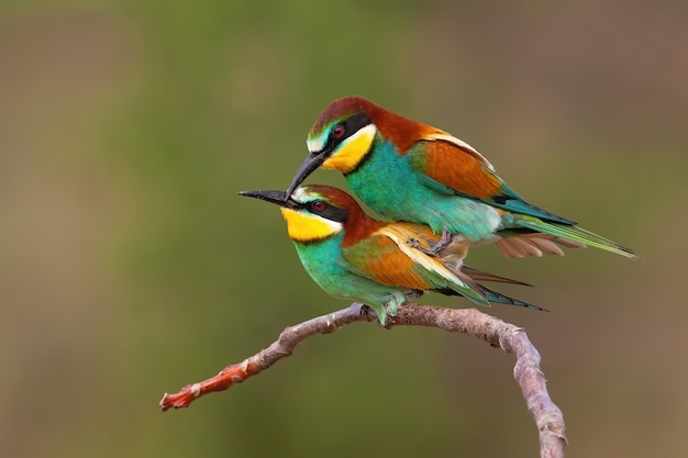 Couple of european bee-eater copulating on a twig in mating season Premium Photo