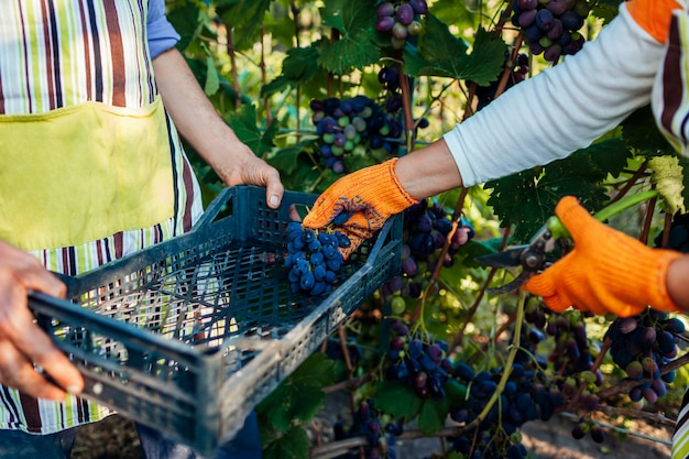 Couple of farmers gather crop of grapes on ecological farm. happy senior man and woman putting grapes in box Premium Photo