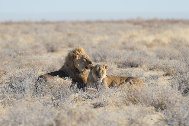 Couple of lions lying down on the ground in the bush. wildlife safari in the etosha national park, main tourist attraction in namibia, africa. Premium Photo