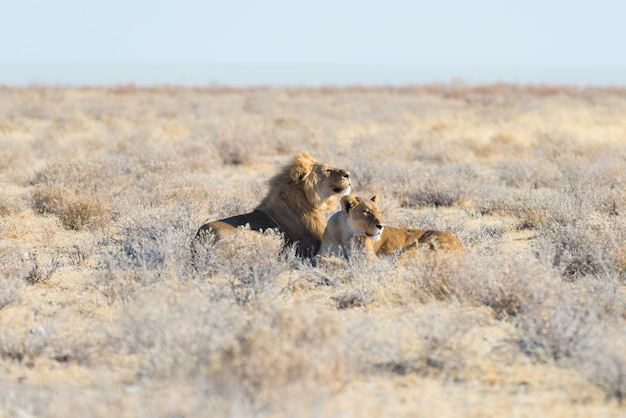 Couple of lions lying down on the ground in the bush. Premium Photo