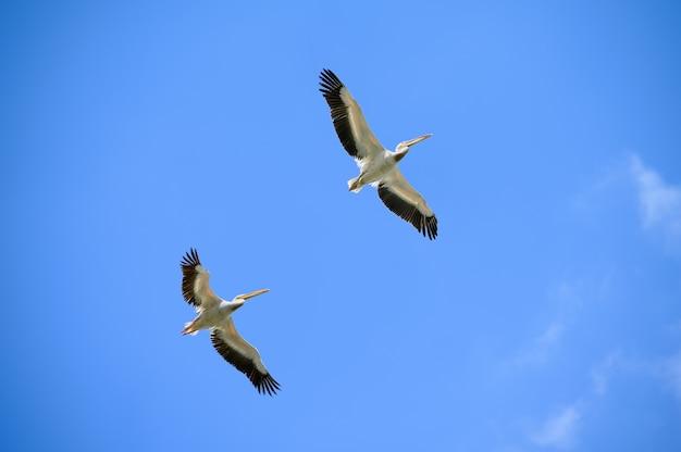青い空を飛んでいるペリカンのカップル Premium写真