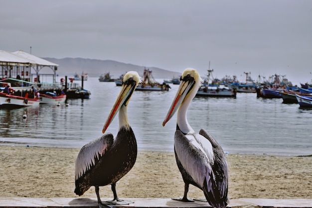 Couple of pelicans in front of the beach in the bay of paracas, perú Premium Photo