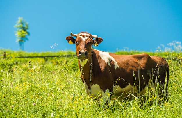 Cow and the Meadow Free Photo