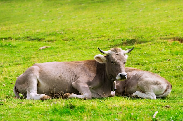 Cow and calf Free Photo