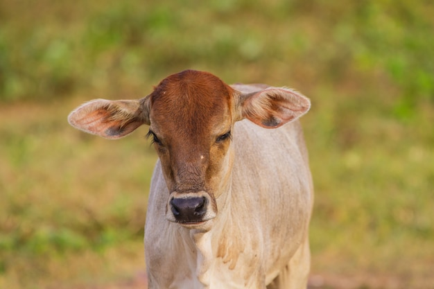 Cow eating grass at the field in summer Premium Photo