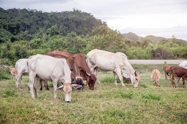 Cow farming on hill of mountain Premium Photo